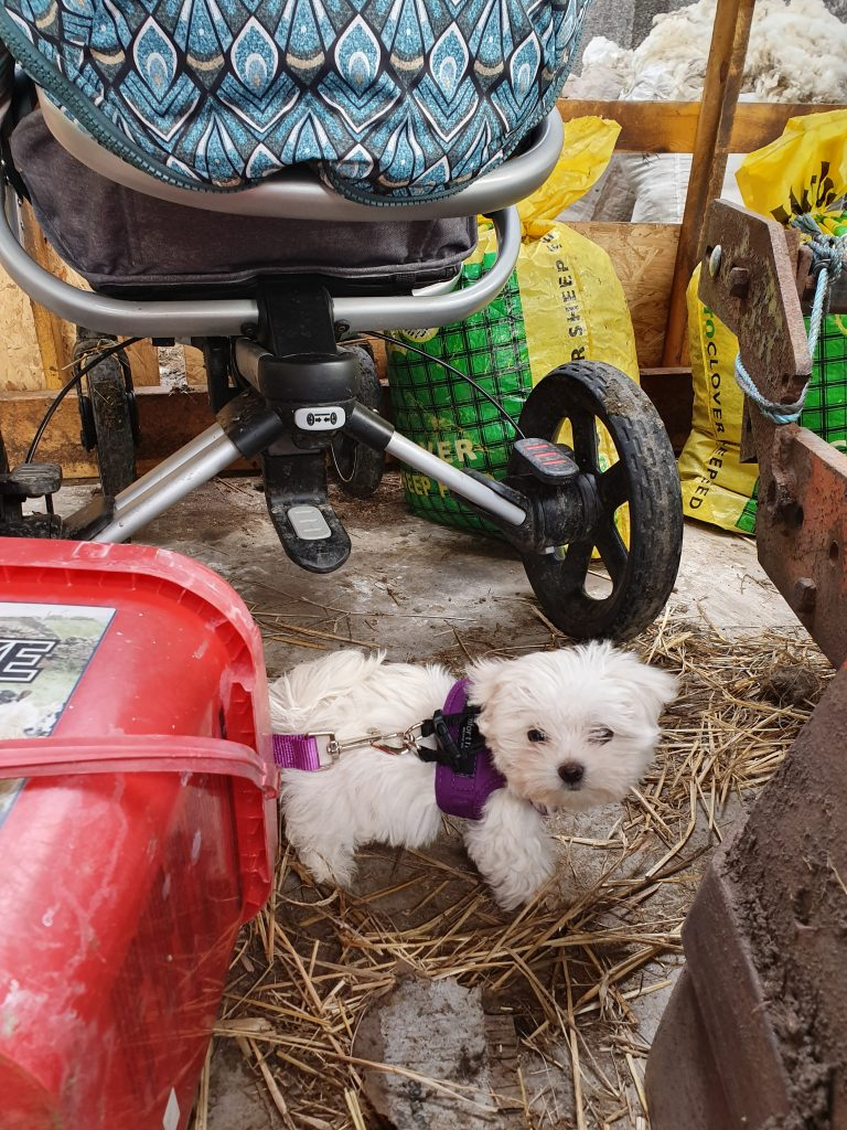 Maltese puppy in sheep shed